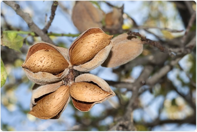 Almond on tree, four almond, cultivation. Image Credit: AG Photo Design / Shutterstock