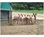 Measures to Take During an African Swine Flu Outbreak