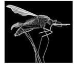 Gene drives are faster, more efficient to control mosquitoes that spread malaria