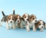 Pet store puppies appear to be carrying a dangerous bacterium, warns CDC