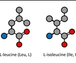 What are Leucine and Isoleucine?