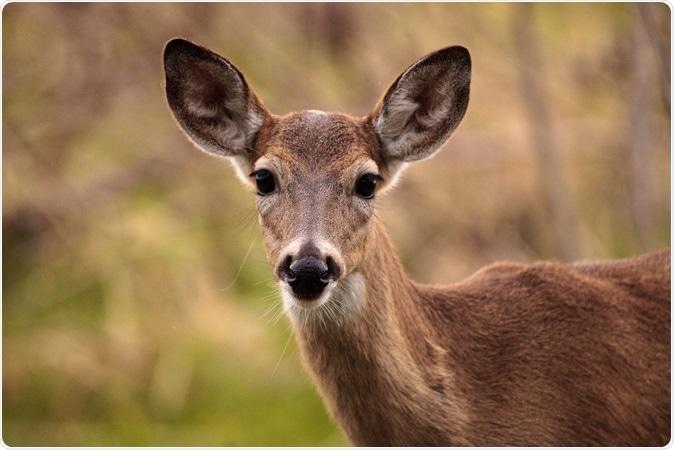 White-tailed deer. Image Credit: LagunaticPhoto / Shutterstock