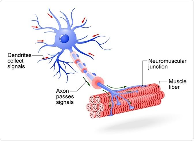Structure of motor neuron. Image Credit: Designua / Shutterstock