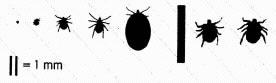 Actual sizes with addition of engorged female Ixodes