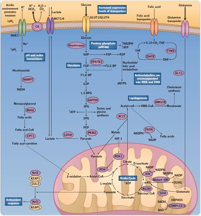 A diagram showing the altered regulation of metabolic pathways when abnormal cancer metabolism in cancer cells occurs.