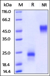 ActiveMax® Human VEGF165 (Cat. No. VE5-H4210) on SDS-PAGE under reducing (R) and no-reducing (NR) conditions. The gel was stained overnight with Coomassie Blue. The purity of the protein is greater than 98%.