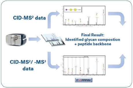 Mass spectrometric workflow for the identification and characterization of O-glycopeptides: Identification of the glycan moiety (CID-MS²) and sequencing of the peptide backbone (CID-MS²/-MS³).