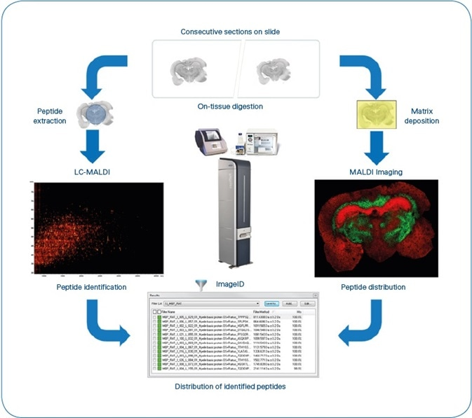 ImageID workflow. After matching LC-MALDI and MS Imaging data, results are available as flexImaging filter lists, grouping all peptides detected for each individual protein. Typical experiment time is 8 hours, not including antigen-retrieval for FFPE tissue. (4 hours for sample preparation, 1 hour for MALDI Imaging (Rat brain coronal section at 50 μm pixel size ~35,000 MS spectra) and 3 hours for LC-MALDI (384 fractions, ~5000 MS/MS spectra).
