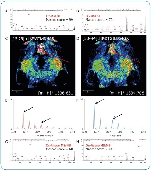 On-tissue MS/MS. Peptides identified by LC-MALDI (A, B) were confirmed by on-tissue measurements. A consecutive section was digested under identical conditions and peptide distributions visualized by a quick (15 minutes) imaging experiment at 100 µm pixel size (C, D). Although not clearly separated in the overall spectrum (E), two peptides (Δm/z = 3.077) could be clearly discriminated by on-tissue MS/MS at high-intensity pixels (F) using the rapifleX (G, H).