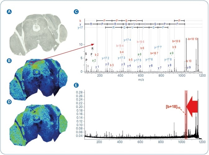 MALDI-MSI analysis of FFPE mouse brain tissue: (A) Optical image; (B) MALDI-MS ion image of m/z 1198.7; (C) Annotated MALDI-TOF/TOF spectrum of precursor m/z 1198.7 that was acquired directly from tissue and identified as peptide AVFPSIVGRPR from Actin, cytoplasmic 1; (D) MALDI-MS/MS ion image of m/z 1042.6, the most abundant fragment ion ([b+18]10) from precursor m/z 1198.7; (E) The mean spectrum from dataset D, red arrow indicates the MS/MS transition used to generate the MS/MS ion image.