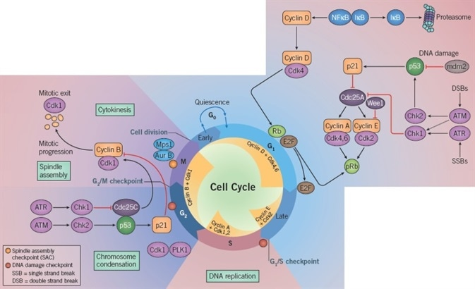Cell Cycle Progression and DNA Repair