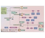 DNA Damage Repair and the Progression of the Cell Cycle