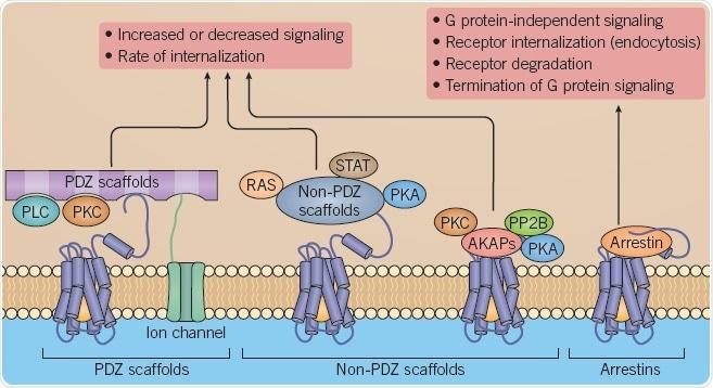 B: Scaffolding proteins regulating GPCR signaling