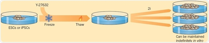 Using two small molecules, Ying et al. (2008) demonstrated the self-renewal of ESCs.