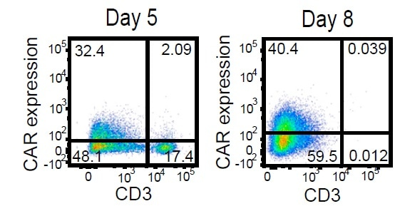 Activated T cells were electroporated with TRC1-2 mRNA and transduced with AAV:TRAC:CAR at an MOI of 400,000 vg/cell and cultured for 5 days in the presence of IL-2. Five days post-transduction, cells were stained for expression of the CAR using a biotinylated CD19-Fc reagent and CD3, with TRC1-2-treated, mock-transduced cells used as a control for gating of CAR expression. CD3+ cells were then depleted. Enriched CD3- cells were cultured for 3 additional days in the presence of IL-15 and IL-21 and then analyzed again by flow cytometry for CD3 and CAR expression.