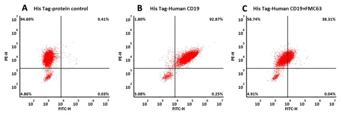 293 cells were transfected with FMC63-scFv and RFP tag . 2x105 of the cells were first incubated with A. His Tag-protein control. B. Recombinant human CD19, His Tag (Cat. No. CD9-H52H2, 10 μg/ml). C. Recombinant human CD19, His Tag (Cat. No. CD9-H52H2, 10 μg/ml) and FMC63 (Mouse anti-CD19 antibody). The FITC Anti-6xHis tag antibody was used to analyze with FACS. RFP was used to evaluate CAR (FMC63-scFv) expression and FITC was used to evaluate the binding activity of recombinant human CD19, His Tag (Cat. No. CD9-H52H2).
