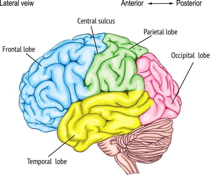 Anatomy of the human brain. Image Credit: Vasilisa Tsoy / Shutterstock