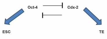 Figure 1: Cdx-2 represses Oct-4 activity in the TE, therefore maintaining TE. Oct-4 reciprocally represses Cdx-2 expression by ICM cells, similarly maintaining these cells as ESCs.