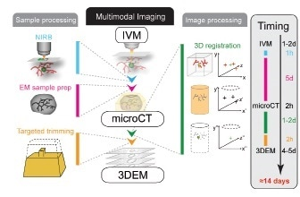Sample preparation, multimodal imaging and image processing workflow. By use of an optimized workflow concept the processing time could be reduced from 3-6 months to approximately 2 weeks, while gaining highly relevant data at the same time. IVM: Intravital Microscopy; 3DEM: 3D electron microscopy. Reproduced from Karreman et al, 2016 [5].