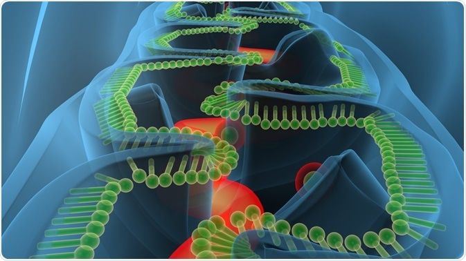Translation of the mitochondrial DNA is essential for cellular energy production.