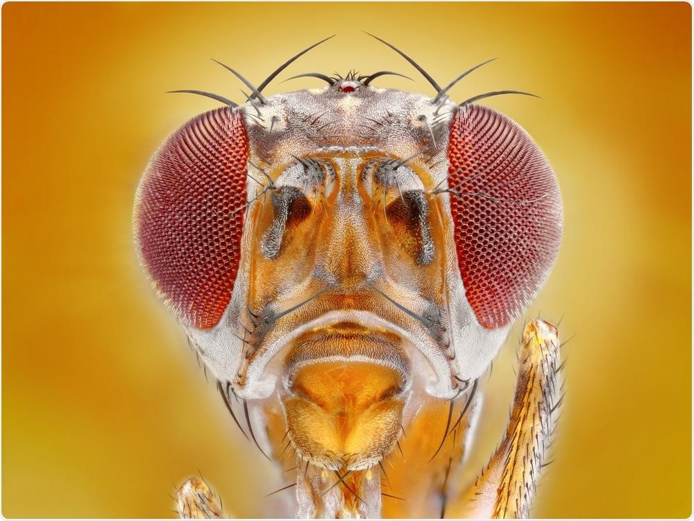 La mosca di frutta della drosofila è un modello animale particolarmente utile e si è trasformata nell