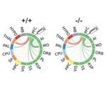Lack of autism risk gene disrupts prefrontal cortex connectivity in mice