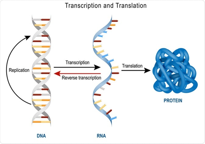 DNA Replication, Protein synthesis, Transcription and translation. Image Credit: Designua / Shutterstock