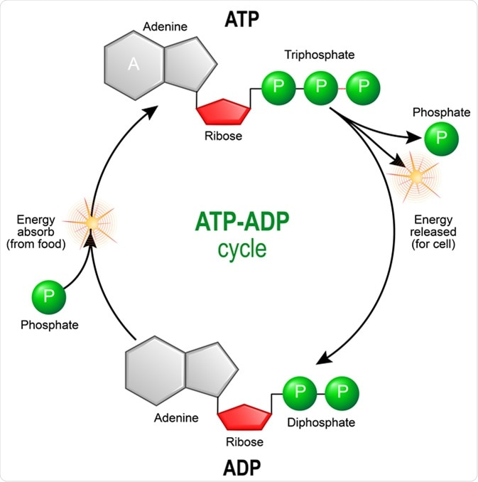 ATP ADP cycle. Adenosine triphosphate (ATP) is a organic chemical that provides energy for cell. intracellular energy transfer. Adenosine diphosphate (ADP) is organic compound for metabolism in cell. Illustration Credit: Designua / Shutterstock