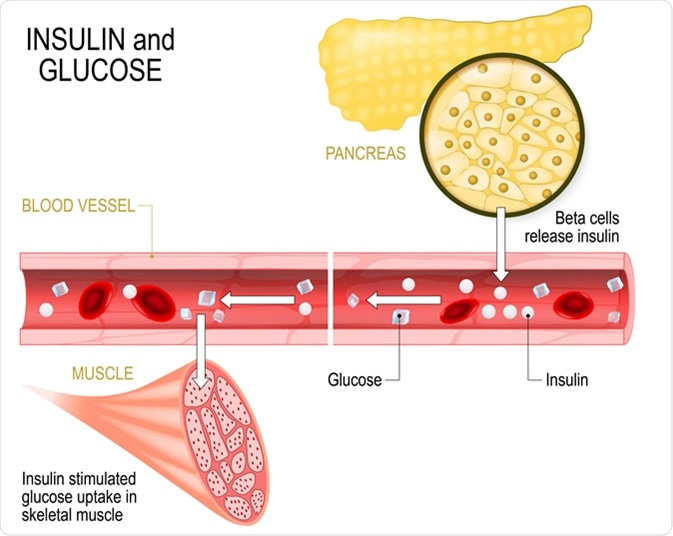 Insulin and glucose. Beta-cells (in the pancreas) release insulin in the blood vessel. Insulin stimulates the absorption of glucose in skeletal muscle. Closeup of pancreas and islets of Langerhans. Image Credit: Designua / Shutterstock