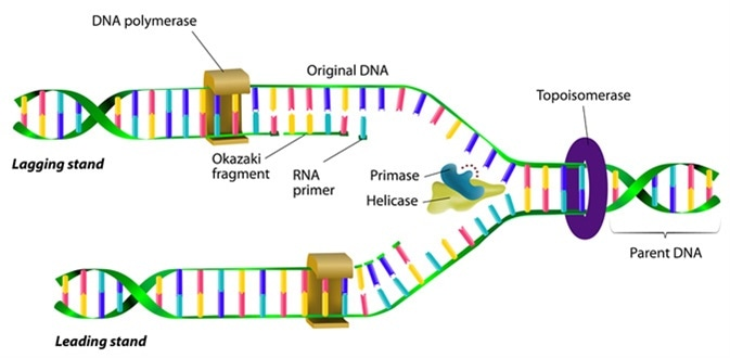 DNA replication. Image Credit: Designua / Shutterstock