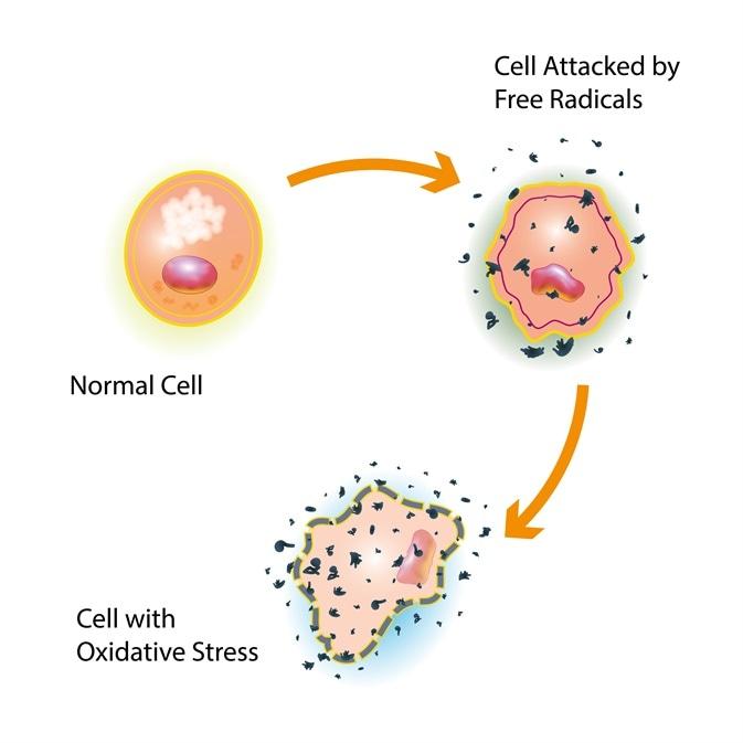 Reactive oxygen species attacking cells