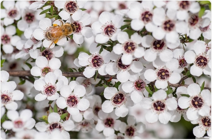 Honey Bee on Manuka flower. Image Credit: M Rutherford / Shutterstock
