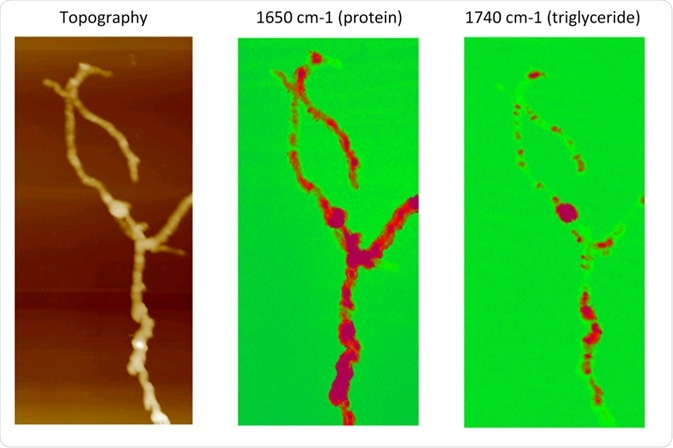 AFM-IR compositional mapping of Streptomyces bacteria.