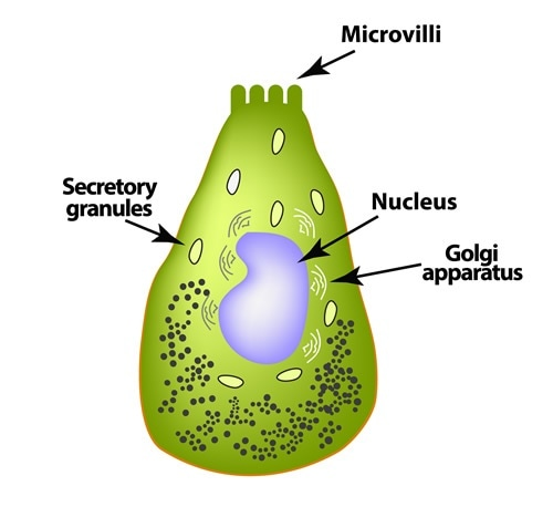 Enteroendocrine cell