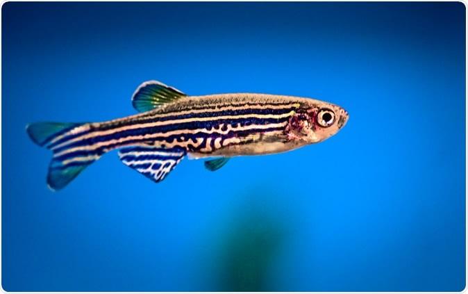 Lo zebrafish è un animale speciale ai biologi perché il suo organismo è trasparente.Credito di immagine: Peter Verreussel/Shutterstock