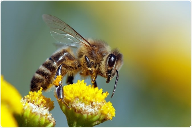 Honeybee - Image Credit: Daniel Prudek / Shutterstock
