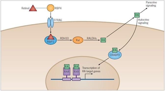 Retinoic Acid Pathway