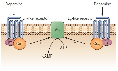 Regulation of adenylyl cyclase by D1 and D2 dopamine receptors.