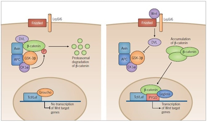 Canonical Wnt Pathway