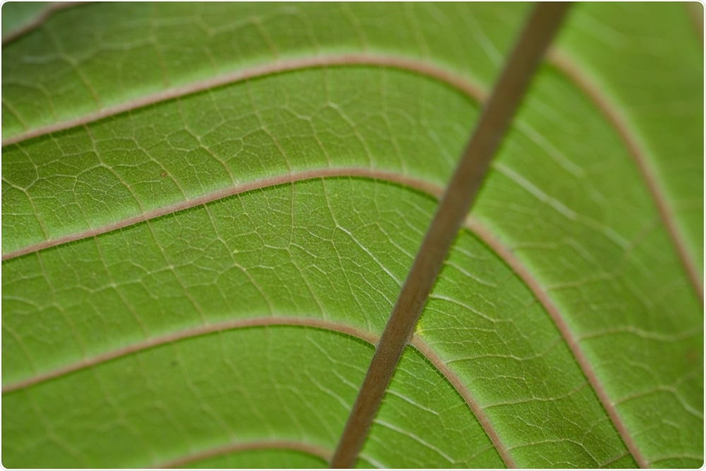 Leaf of the kratom plant.