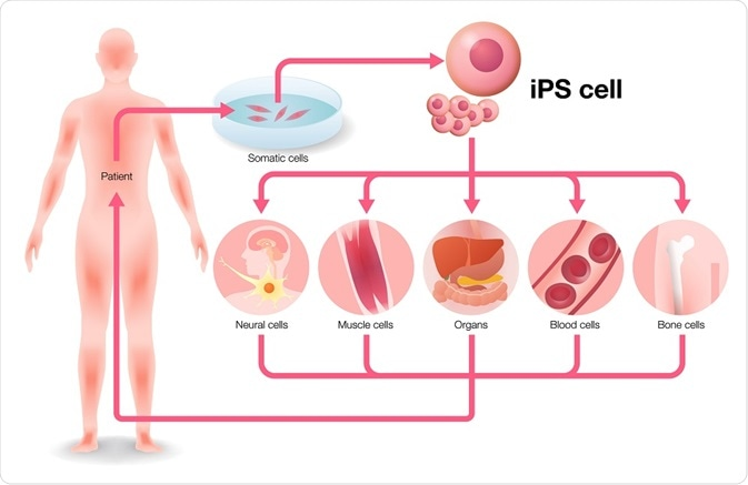 Production of induced pluripotent stem cells.