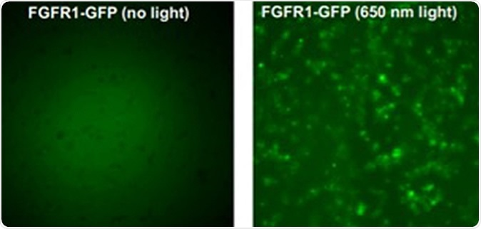 The left image above shows the gene FGFR1 in its natural state. The right image shows the gene when exposed to laser light, which causes the gene to activiate and deactivate. Credit: University at Buffalo.