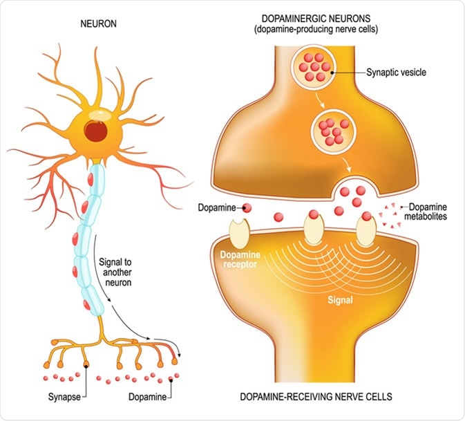 Dopamine. Closeup presynaptic axon terminal, synaptic cleft, and dopamine-receiving nerve and dopamine-producing cells. Labeled diagram. Illustration Credit: Designua / Shutterstock