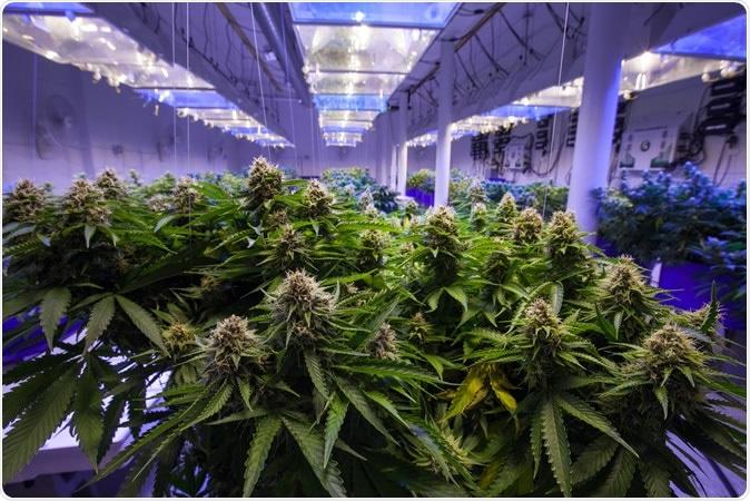 Marijuana comercial. Crédito de imagem: Canna Obscura/Shutterstock