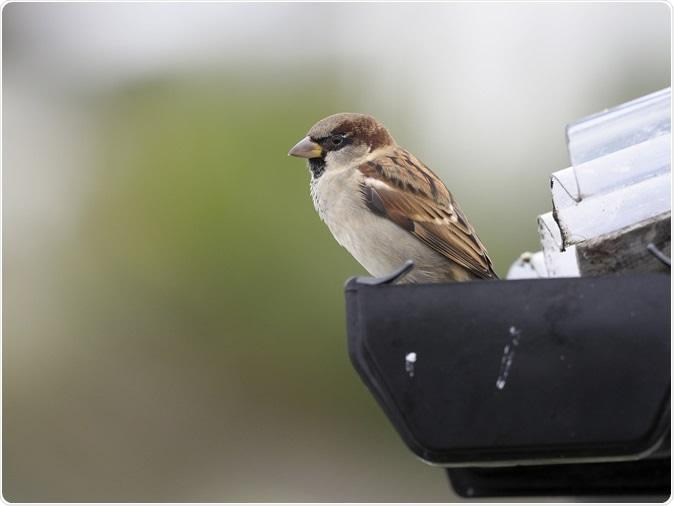 House sparrow, Passer domesticus. Image Credit: Erni / Shutterstock