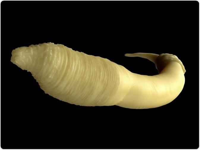 Caenorhabditis elegans worm. Image Credit: royaltystockphoto.com / Shutterstock