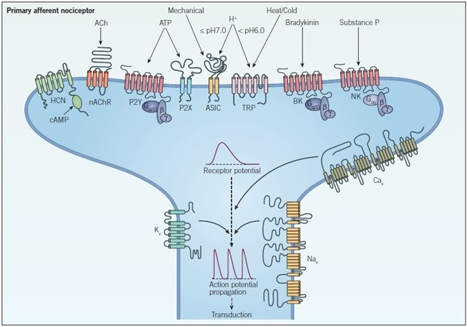 Peripheral sensitization and signal propagation in nociception. Peripheral terminals respond to noxious stimuli through ion channels such as TRP, ASIC, HCN and P2X receptors and GPCRs such as bradykinin (BK), neurokinin (NK) and P2Y receptors which indirectly modulate ion channels and intracellular signaling pathways. When a threshold depolarization is reached, voltage-gated sodium and calcium channels (NaV and CaV respectively) are activated, which generates an action potential. At this point voltage-gated potassium channels (KV) open and repolarize the membrane, inactivating NaV channels and returning the neuron to a resting state. The action potential then propagates along the axon in a process called transduction.