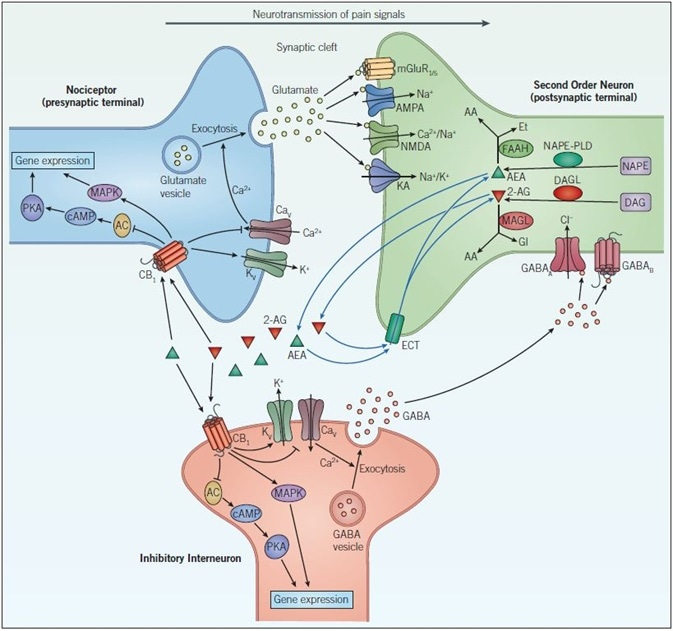 Endocannabinoid signaling and neurotransmission. Pain signals from the nociceptor arrive at the presynaptic terminal where upon opening of voltage-gated calcium channels (CaV), elevates intracellular calcium and stimulates exocytosis so that glutamatergic signaling can occur. Glutamate acts on two different types of receptors on the postsynaptic neuron: ionotropic glutamate receptors (NMDA, AMPA and KA) and metabotropic glutamate receptors (mGluR). Activation of these channels and receptors initiate a receptor potential in the postsynaptic neuron. Endocannabinoids (such as, anandamide (AEA) and 2-arachidonoylglycerol (2-AG)) are synthesized in response to increased activity in the postsynaptic neuron. They exert their effects by binding to specific G-protein-coupled receptors located on the presynaptic neuron. The CB1 receptor inhibits the AC-cAMP‑PKA pathway and activates the mitogen-activated protein kinase (MAPK) cascade, both of which regulate gene expression. The CB1 receptor modulates ion conductances, inhibiting voltage-sensitive Ca2+ channels, which blocks exocytosis and activates voltage-sensitive K+ channels (KV), leading to suppression of the signals coming from the nociceptor – this is called retrograde signaling. Endogenous cannabinoids in the synaptic cleft are taken up by endogenous cannabinoid transporters (ECT) into the cell whereby they are broken down by enzymes that include, fatty acid amide hydrolase (FAAH) and monoacylglycerol lipase (MAGL). Inactivation of AEA (by FAAH) and 2-AG (by MAGL) occurs via hydrolysis to arachidonic acid (AA) and ethanolamine (Et) or glycerol (Gl), respectively. GABAergic neurons also act on the postsynaptic cell to decrease excitability. GABAA, a ligand-gated ion channel that conducts chloride ions and GABAB, a G-protein-coupled receptor that is linked to K+ channels and that inhibits the AC-cAMP-PKA pathway, leads to inhibition of the postsynaptic neuron and a dampening down of pain signals communicated to the brain.