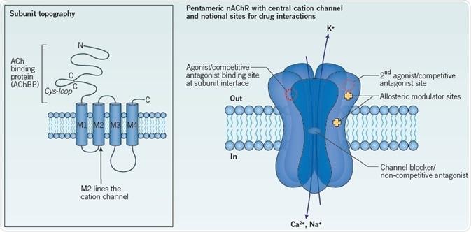 General structure of a nAChR constitute a principal agonist binding site in neuronal nAChRs.