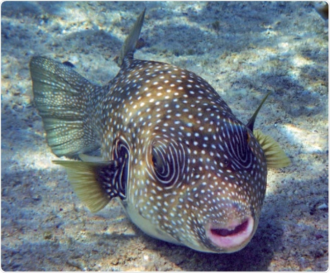 Tetraodontidae – a source of tetrodotoxin. The pufferfish (Tetraodontidae) is a well known source of tetrodotoxin. Although tetrodotoxin was originally discovered in these fish, it is actually produced by symbiotic bacteria that reside within the liver and other organs of the pufferfish.